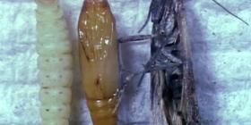 food moths plodia interpunctella information about