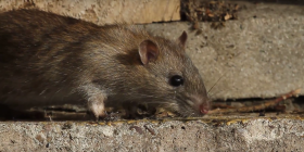 rats rattus prevent infestation with