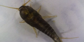 silverfish lepisma saccharina information about