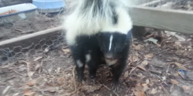 skunks mephitidae how to get rid of