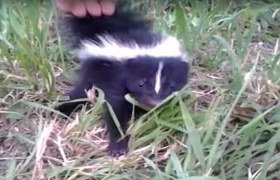 skunks mephitidae information about