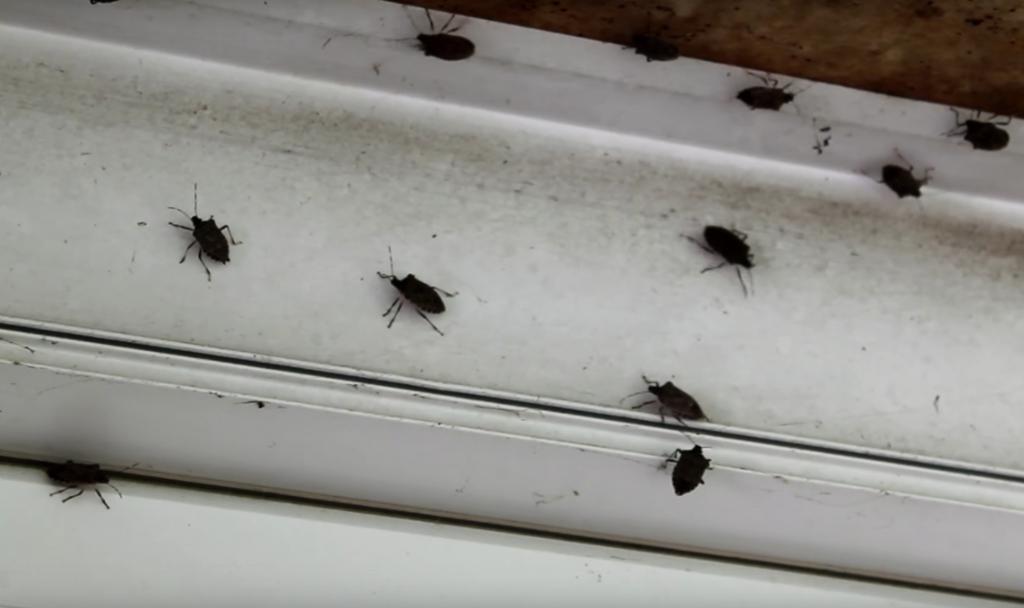How To Get Rid Of Stink Bugs Kill Pentatomidae Methods