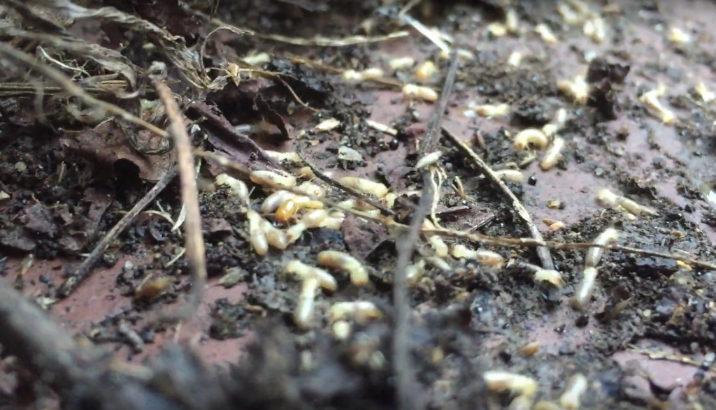 termites isoptera how to get rid of
