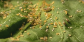 thrips thysanoptera information about