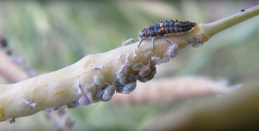 thrips thysanoptera prevent infestation with