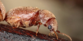 tobacco pests information about