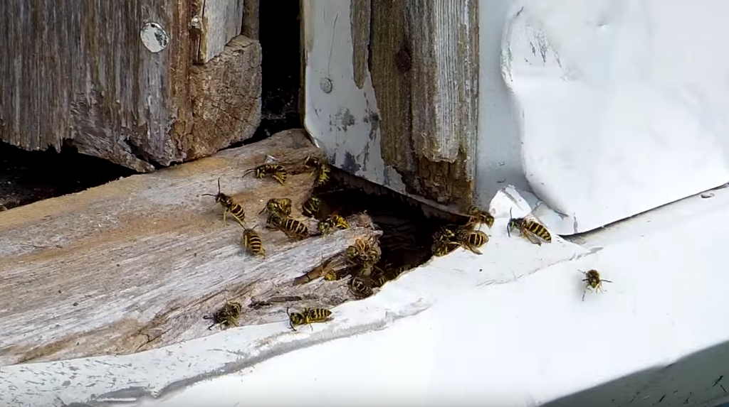 wasps vespula germanica how to get rid of