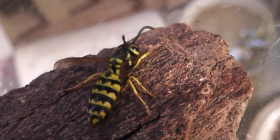wasps vespula germanica information about