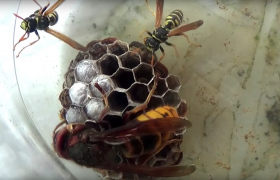 wasps vespula germanica prevent infestation with