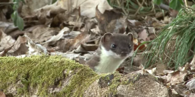 weasels mustela how to get rid of