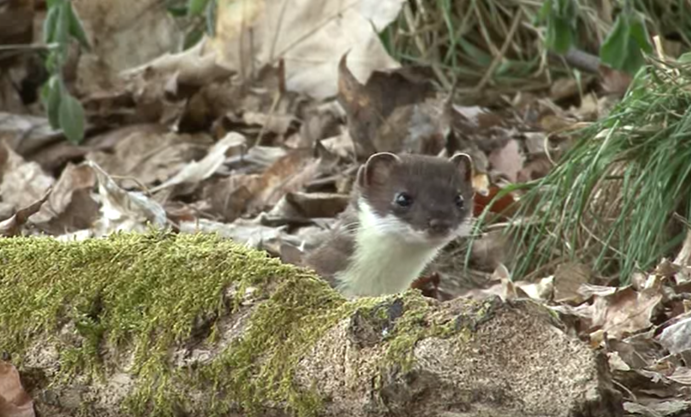 how to get rid of weasels catch and protect your home and yard