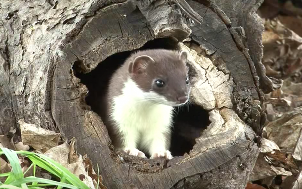 weasels mustela information about