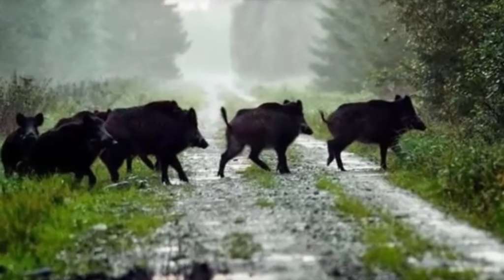 how to get rid of wild pigs repel boar protect your home yard