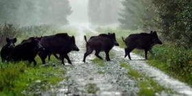 wild pigs boar pleistocene holocene how to get rid of