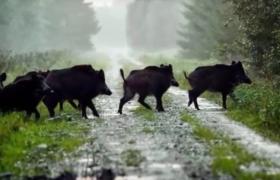 wild pigs boar pleistocene holocene how to get rid of