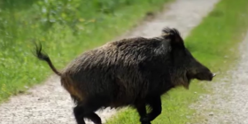 wild pigs boar pleistocene holocene information about