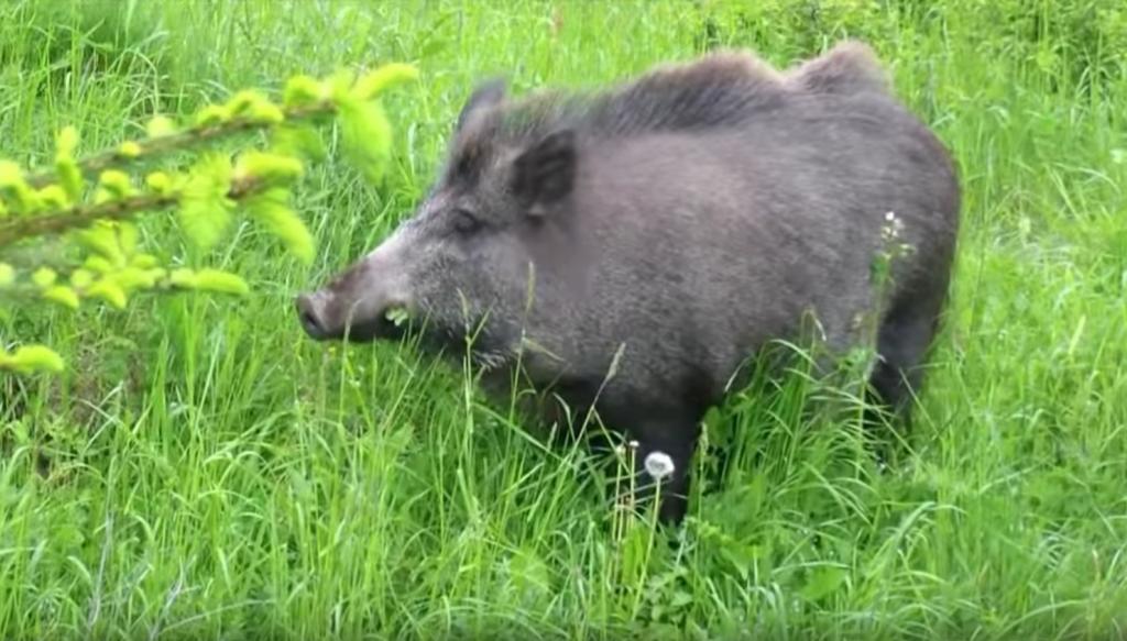 wild pigs boar pleistocene holocene prevent infestation with