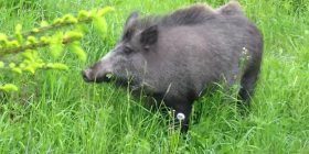 wild pigs boar pleistocene holocene prevent infestation with