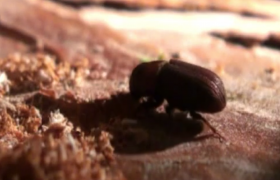 wood borers beetle heterobostrychus aequalis how to get rid of