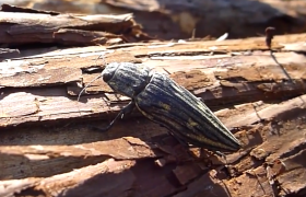 wood borers beetle heterobostrychus aequalis information about