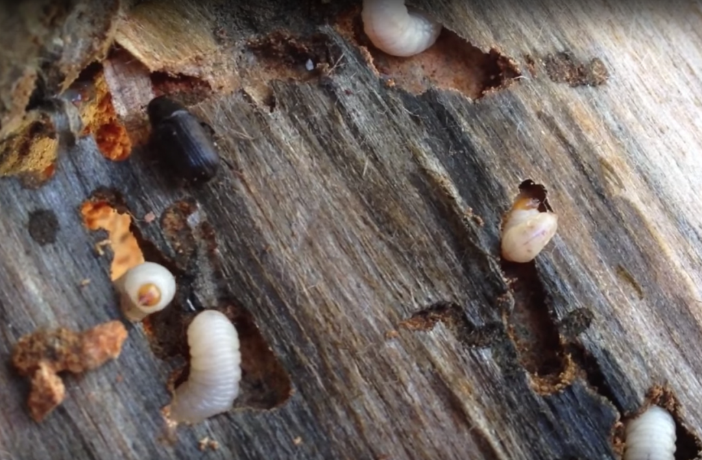 wood borers beetle heterobostrychus aequalis prevent infestation with