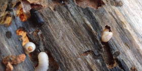 wood borers beetle heterobostrychus aequalis prevent infestation with