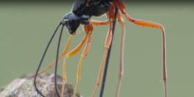 wood wasps siricidae how to get rid of