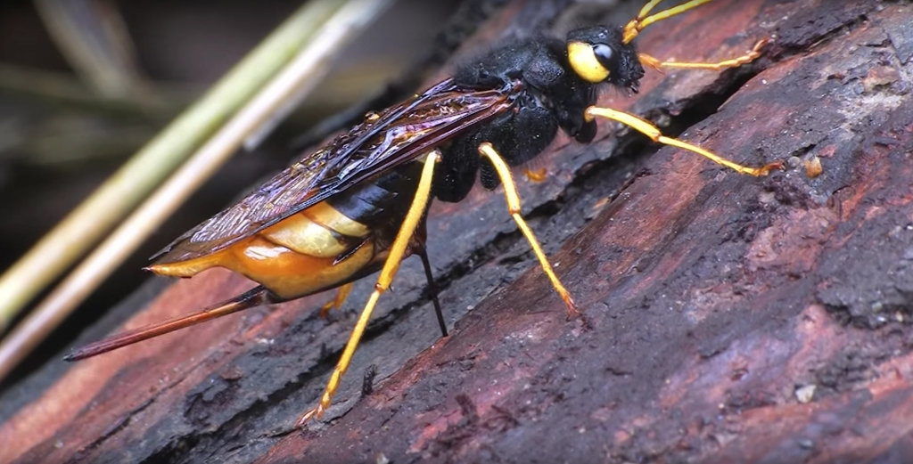 wood wasps siricidae information about