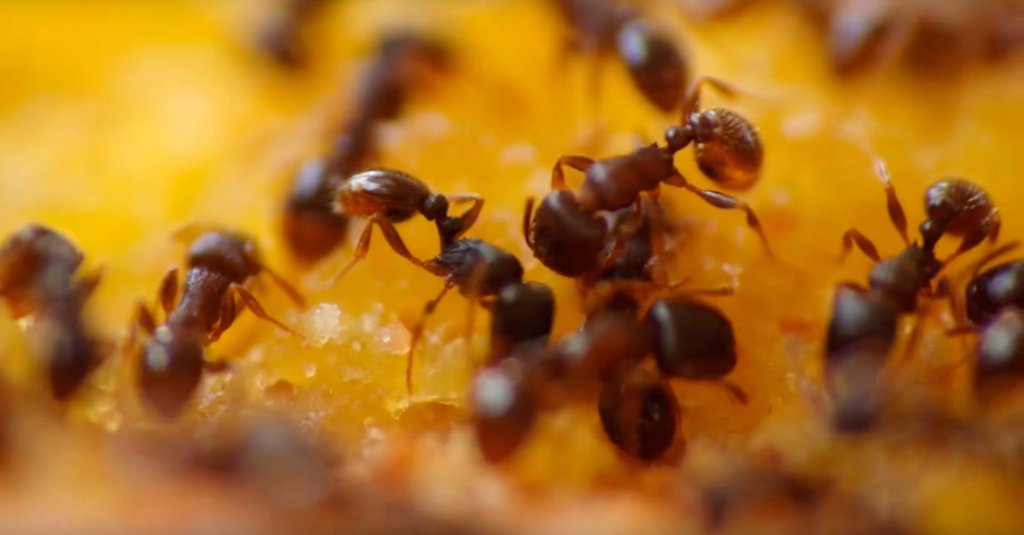 ants formicidae prevent infestation with