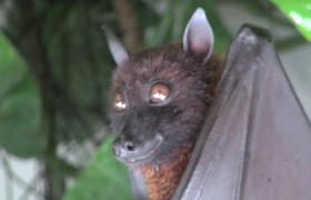 bats chiroptera how to get rid of
