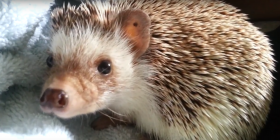 hedgehog erinaceinae how to get rid of