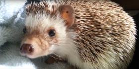 hedgehog erinaceinae how to get rid of