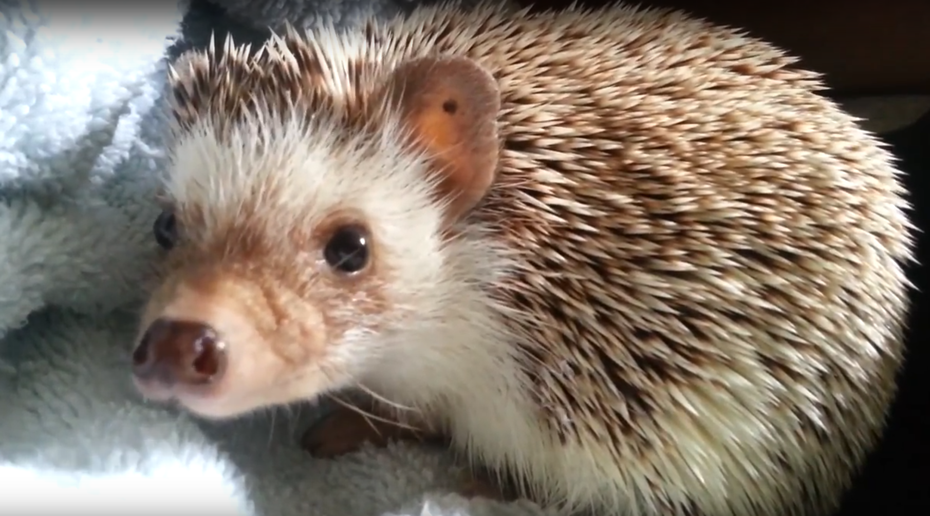 How to get rid of Hedgehog, control methods, catch and repel ...