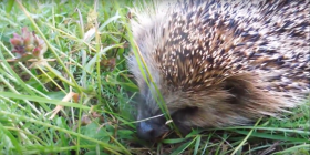 hedgehog erinaceinae information about