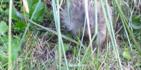 hedgehog erinaceinae prevent infestation with