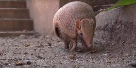 how to get rid of armadillos dasypodidae