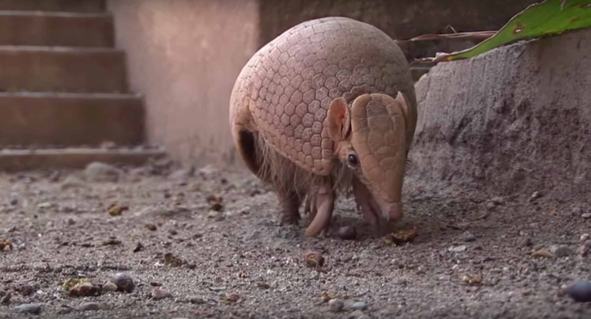 How to Get Rid of Armadillos photo