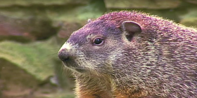 how to get rid of groundhogs marmota monax