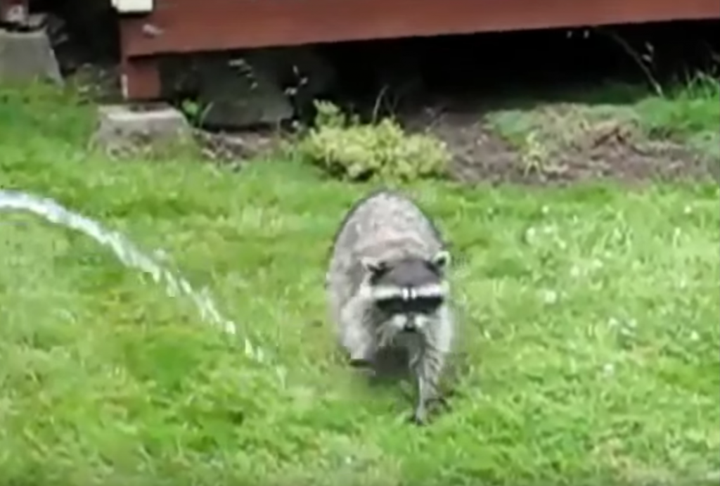 how to get rid of raccoons procyon