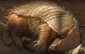 information about armadillos dasypodidae