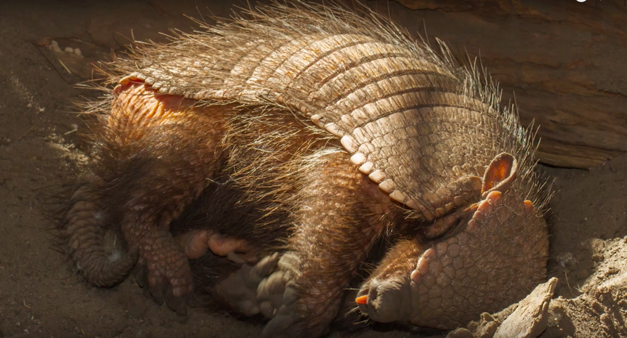 Information about Armadillos, all you need to know about ...