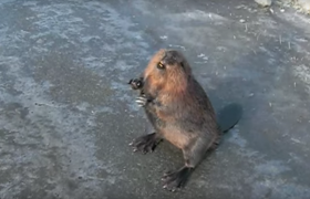 information about beavers castor