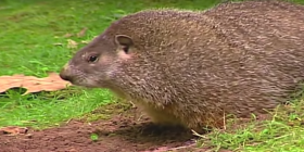 information about groundhogs marmota monax