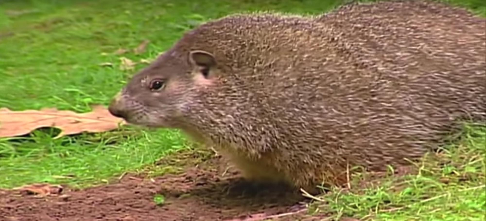 information about groundhogs all you need to know about marmota