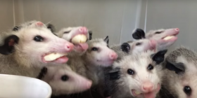 information about opossums didelphimorphia