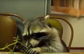 information about with raccoons procyon