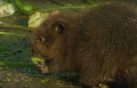 prevent infestation with beavers castor