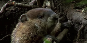 prevent infestation with groundhogs marmota monax