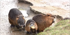 nutria coypu myocastor coypus prevent infestation with