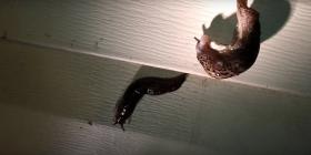 slugs gastropoda how to get rid of